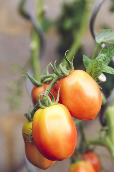 The apolitical backyard tomato garden